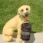 Yellow Lab With Solar Light